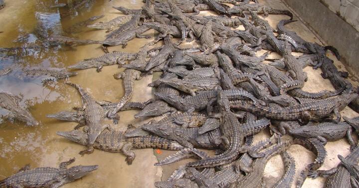 Crocodiles in Farm